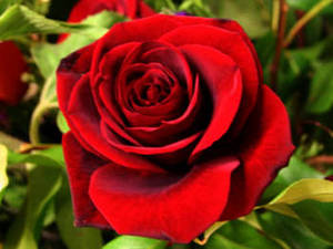 Free Photo of A Red Rose