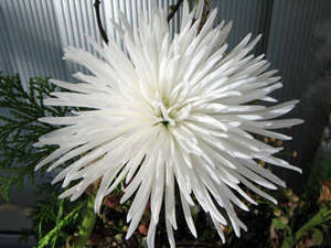 Free Picture of a Spikey White Flower