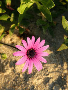 Free Picture of a Pink Daisy