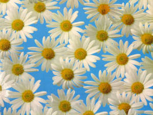 Stock Photo of Daisies on a Blue Background