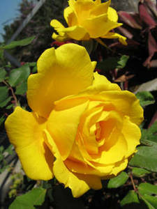 Free Picture of A Deep Yellow Rose