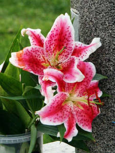 Free Photo of Pink Tiger Lilies In a Cemetary