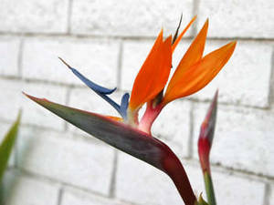 Stock Picture of a Bird of Paradise Flower
