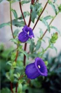 Stock Photo of a Purple, Bell Shaped Flower
