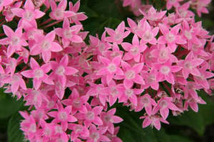 Free Photo of Pink Flowers