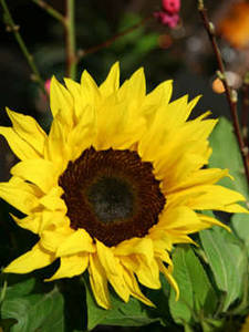 Free Photo of a Sunflower