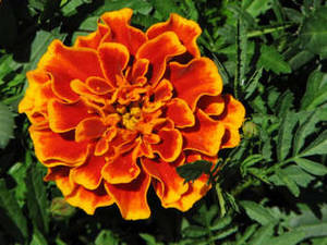 Stock Picture of an Orange Marigold Flower