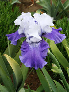 "Free Photo of a ""Tempting Fate"" Iris, White and Purple Flower"