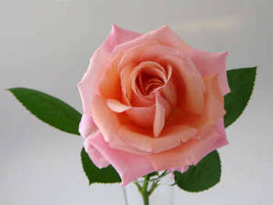 Free Photo of A Light Pink Rose