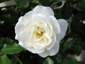 Free Photo of A White Rose