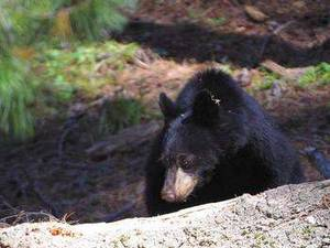 Free Image of a Black Bear in Sequoia National Park