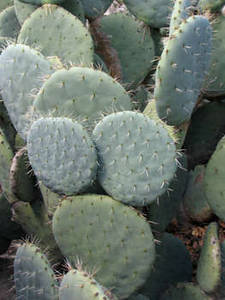 Free Picture of a Prickly Pear Cactus