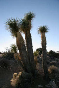 Free Picture of Joshua Trees in a Sunset