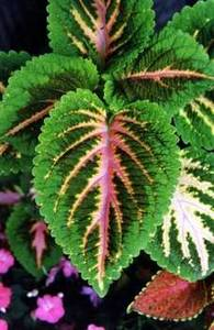 Free Image Of a Giant Coleus