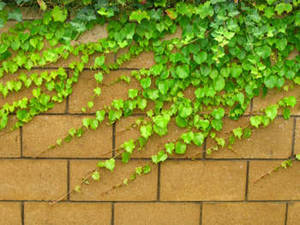 Free Photo of an Ivy Covered Yellow, Brick Wall