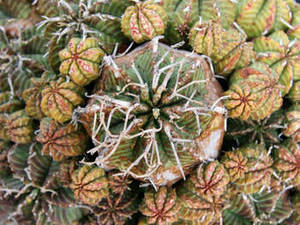 Free Picture of a Bunch of Cactus