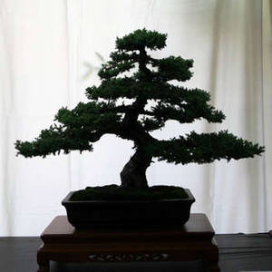 Free Image of a Bonsai Tree in Silhouette