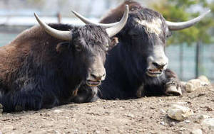 Free Photo of Two Oxen at Tama Animal Park in Japan