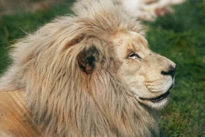 Free Image of a White Lion at Tochigi Animal Park