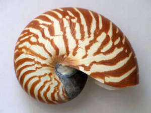 Free Photo of a Tiger Striped Snail Shell
