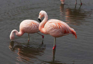 Free Image of Two Flamingos in a Pond, Nasu, Japan