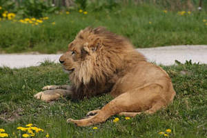 Free Picture of a Lion Laying in the Grass