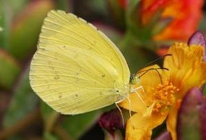 Free Picture of a Yellow Moth Or Butterfly