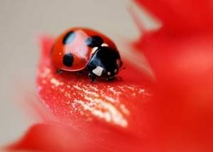 Free Picture of a Ladybug