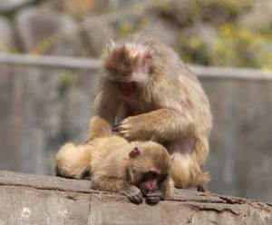 Free Picture of A Monkey Grooming A Smaller Monkey
