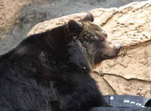 Free Picture of a Bear, Tama Zoo in Japan