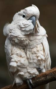 Free Picture of a White Cockatiel