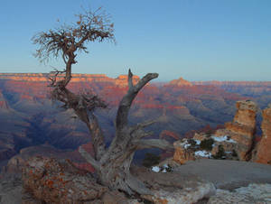 Free Picture of the A Twisted Tree On the Edge of the Grand Canyon