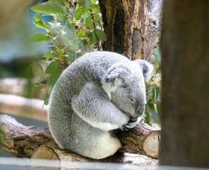 Free Picture of a Koala Bear