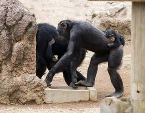 Free Picture of a Chimp Family, Tama Zooilogical Park, Japan