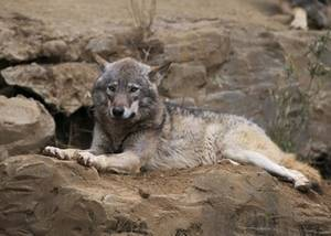 Free Picture of A Gray Wolf at Tama Animal Park in Japan