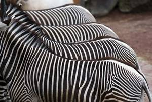 Free Picture of Four Zebras