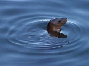 Free Picture of a Seal