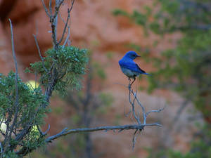 Free Picture of a Bluebird on a Branch