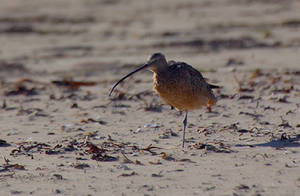Free Picture of a Sandpiper on the Beach