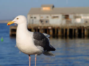 Free Picture of a Seagull