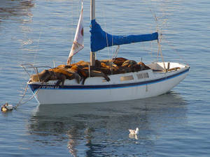 Free Picture of a Sailboat Full of Seals