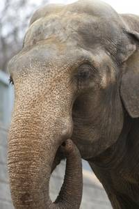 Free Picture of an Elephant