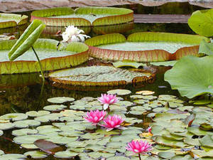 Free Picture of a Pond with Lily Pads