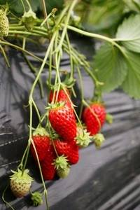 Free Picture of Strawberries on the Vine