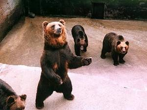 Free Picture of Bears at the Bear Farm in Mt. Showa-Shinzan