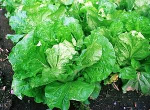 Free Picture of Chinese Cabbage