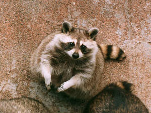 Free Picture of Raccoon at Bear Farm, Mt. Showa-shinzan, Japan