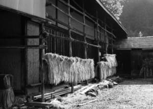 Free Picture of Harvested Rice Hanging to Dry