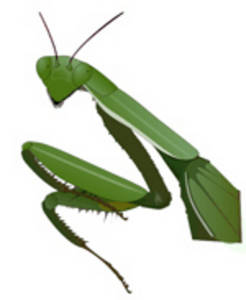 Free Clipart Picture of a Praying Mantis