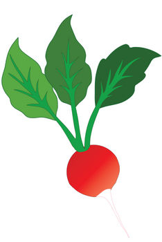 Free Clipart Picture of a Whole Radish